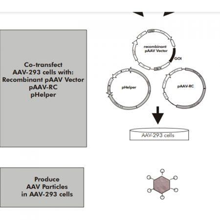 AAV Helper-Free System 2