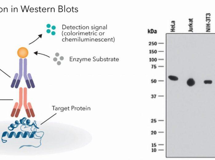 Prinsip Western Blot Hasil band protein alpha-Tubulin pada Western Blot