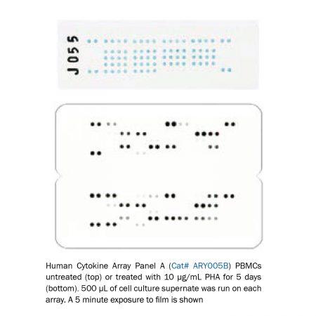 Proteome Profiler Antibody Array-01