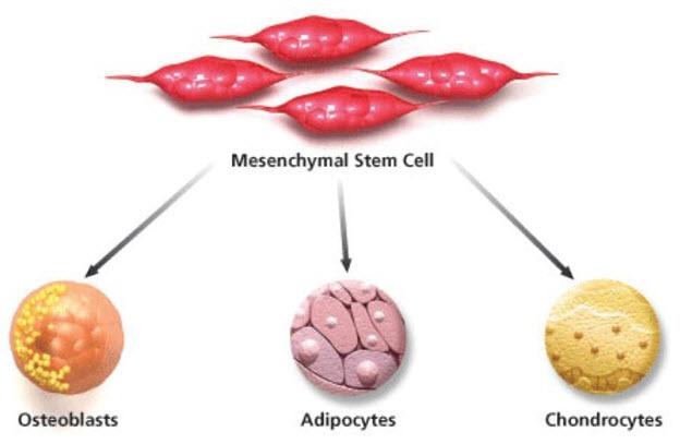 mesenchymal-stem-cell-pathway